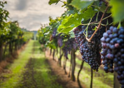Vineyard monitoring solution